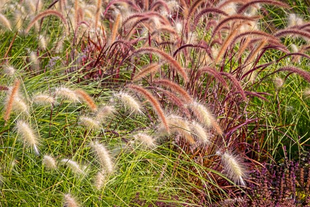 The best ornamental grasses for your yard for Ornamental lawn grass