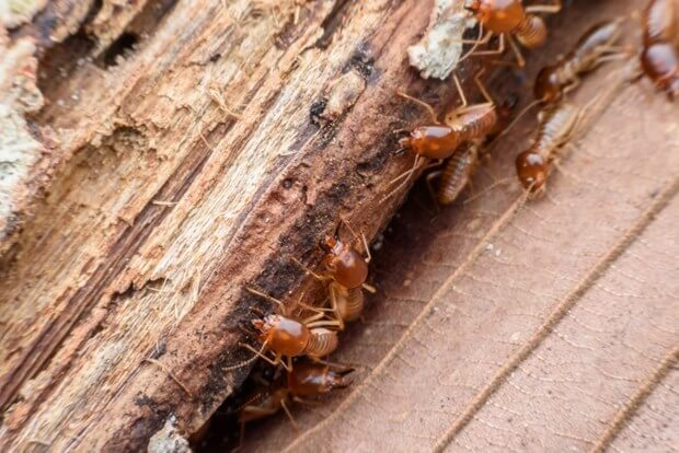 How To Identify Get Rid Of Termites Termite Prevention