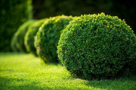 Privacy Landscaping Plants | Privacy Plants