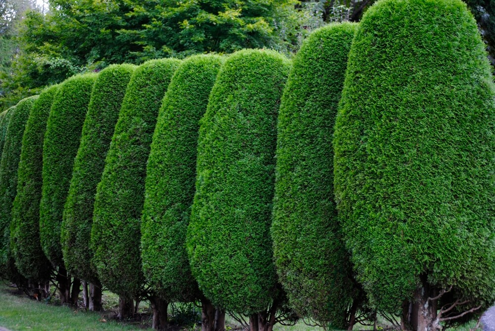 privacy landscaping plants privacy plants