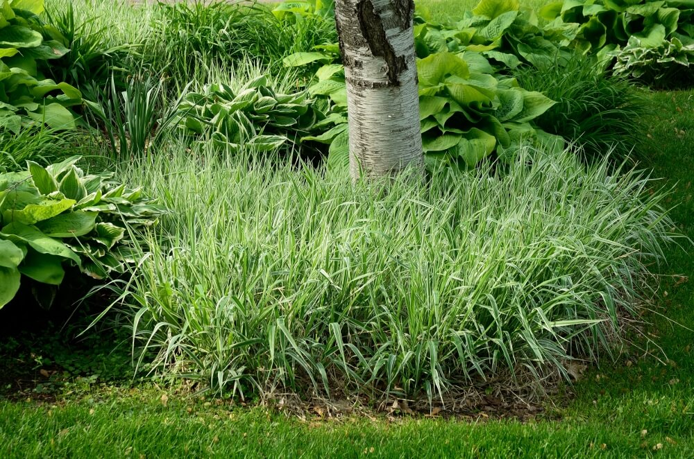 Low Growing Ornamental Grass The best ornamental grasses for your yard short ornamental grasses workwithnaturefo